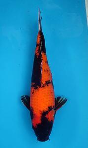 149-Kyudenkoi-kyudenkoi -Hiutsuri-40 cm-female-jakarta