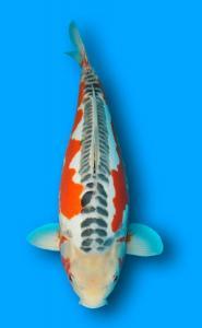 096-Budiono Wijanto - New Ayunawa -Shusui - 61cm - Female