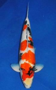 016-Jasper n Jehann-Twin Koi-Bekasi-Kinginrin A-58  cm-Male