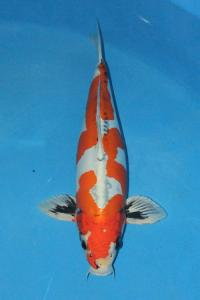 227-kezia-jakarta koi center-jakarta-kawari mono-54cm M
