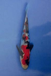 112-Alexander Siagian-Nirwana koi centre-Jkt-Ginrin A-17cm