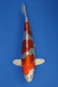 439-TTKOI-STARS KOI-MALANG-HIKARIMOYO-44CM