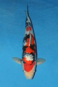 226-kezia-jakarta koi center-jakarta-ginrin A-51cm