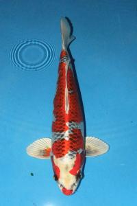 247-yohanes edy-jakarta koi center-surabaya-hikarimoyomono-48cm
