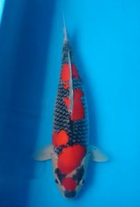 033-Henry Usman - Tomodachi - Medan - Goshiki - 63cm - Female