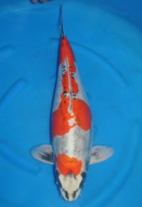 013-Dogama Jnr-Twinkoi-Jakarta-Kawarimono-64 cm