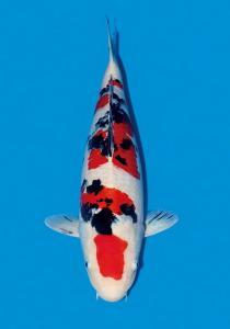 004-Budiono Wijanto-Twin Koi-Bekasi-Sanke-59 cm