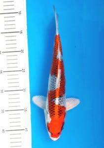 387-Genadhi BeNC-BeNC-bekasi-hikarimoyomono 33cm