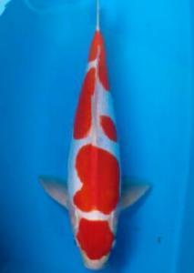 248-Rully Q koi-KKC- kediri-Doitsu-38cm