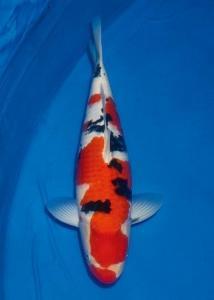 029-Henry Usman - Tomodachi - Medan - Taisho Sanshoku - 64cm - Female