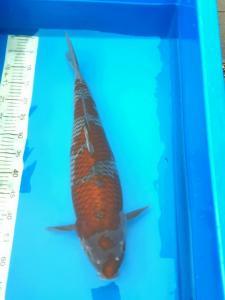 153-Kyudenkoi-kyudenkoi -Kawarimono-60 cm-male-jakarta