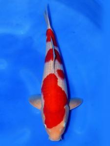 140-Kohaku 48 cm